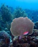 blackbar soldierfish Royaltyfri Foto
