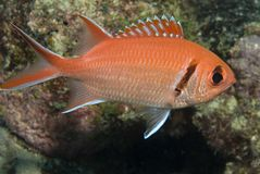 blackbar soldierfish Royaltyfria Bilder