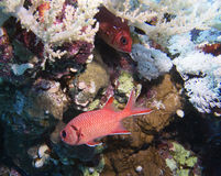 Blackbar Soldierfish. Priacanthidae Big-eyed Red Fish, red sea Stock Images