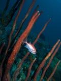 Blackbar Soldierfish Stock Image