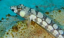 blackbarred море sandperch огурца отдыхая Стоковое Фото