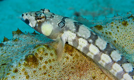 Blackbarred sandperch resting on a sea cucumber Stock Photo