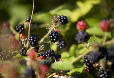 Blackbarry on a bush.JH. Fresh ripe blackberry on a bush on a sunny day.JH stock photography