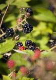 Blackbarry on a bush.JH. Fresh ripe blackberry on a bush on a sunny day.JH royalty free stock photos