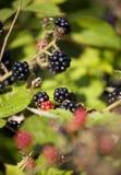 Blackbarry em um bush.JH fotos de stock royalty free