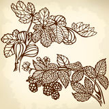 Blackbarry and fig. Branch of blackberries and figs branch. Drawing. Vintage Royalty Free Stock Image
