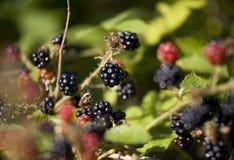 Blackbarry på en bush.JH Arkivbild