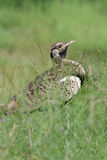 Blackbellied Bustard Royalty Free Stock Image