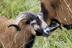 Blackbellied sheep. Royalty Free Stock Image