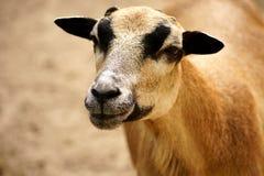 blackbelly卡麦隆矮人绵羊 免版税库存图片