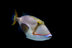 Blackbelly triggerfish Royalty Free Stock Photography