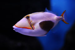 Blackbelly triggerfish Stock Images