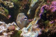 Blackbelly triggerfish Stock Photo
