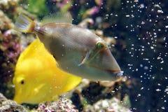 Blackbelly triggerfish Royalty Free Stock Photo