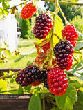 Blackberries on a branch Royalty Free Stock Image