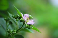 Blackberr floreciente Imagen de archivo libre de regalías