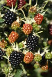 Blackberries. On a branch in summer Royalty Free Stock Photos