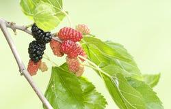 Blackberries Stock Image