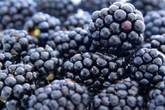 Free Blackberries Stock Photo - 15187910