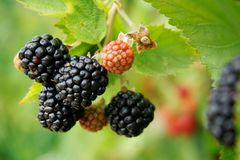 Free Blackberries Royalty Free Stock Photography - 153727267
