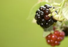 Blackberries Stock Images