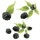 Blackberries. Royalty Free Stock Photography