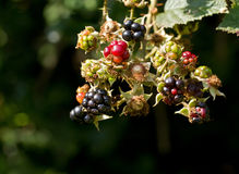 Blackberries Royalty Free Stock Photos
