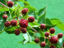 Blackberries. Not ripe berries blackberry on a sunny day Royalty Free Stock Photography
