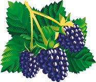 Blackberries. Raster version of vector image of three blackberries with a leaves Stock Images