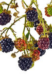 Blackberries. A twig with blackberries, some ripe and others ripening royalty free stock images
