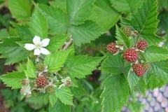 Free Blackberries Royalty Free Stock Photos - 41849338