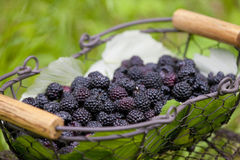 Blackberries in basket Stock Photos