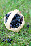 Blackberries in a basket Royalty Free Stock Photo