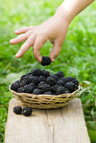 Blackberries in the basket Royalty Free Stock Photo