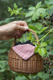 Blackberries in basket Royalty Free Stock Photo