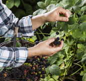 Blackberries Being Hand Selected Stock Image