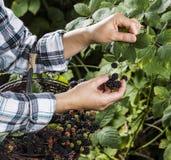 Blackberries Being Hand Selected Stock Image