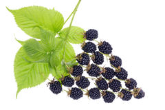 Blackberries berry concept Royalty Free Stock Images