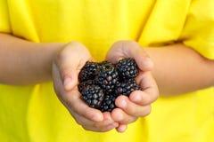 Blackberries berry fruits blackberry berries fruit summer hands. Holding child kid little boy outdoor stock image