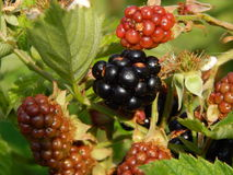 Blackberries berry still life and composition. Blackberries berry still life and texture composition Royalty Free Stock Photo
