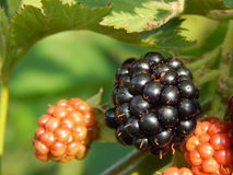 Blackberries berry still life and composition. Blackberries berry still life and texture composition Stock Photos