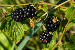 Blackberries. Black fruits of blackberries in summer Royalty Free Stock Photos