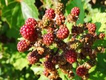 Blackberries. Rippening in the bush stock photo