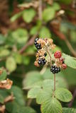 Blackberries, both ready to eat and not quite ripe. Blackberries on a stalk, some ready to eat, with foliage in the background Stock Images