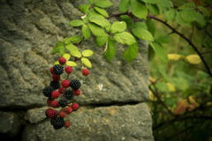 Blackberries branch. Against the backdrop of a stone wall Stock Images