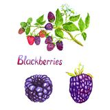 Blackberries branch with flowers ripe, green and pink berries. Blackberries branch and berries, hand painted watercolor illustration with handwritten inscription Royalty Free Stock Photo