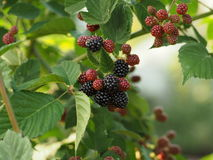 Blackberries on a branch in the garden Stock Photo