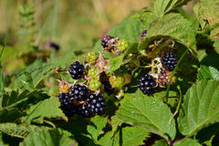 Blackberries on  branch with leaves Royalty Free Stock Photo