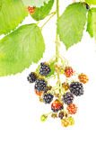 Blackberries on branch Royalty Free Stock Photo