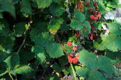 Blackberries on branch. Natural blackberries on branch in my home garden Stock Photography